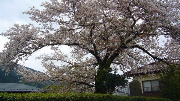 桜見 [STC 石上] 2021/4/14